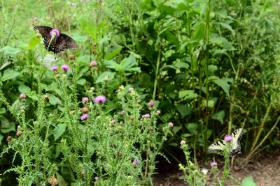 Butterflies Feeding on Thistle Flowers